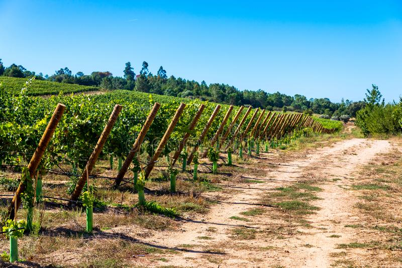 Rows of Vineyard Grape in Fall and Autumn Season. Landscape of Winery Farm Plantation,Taken before Sunset.  stock images