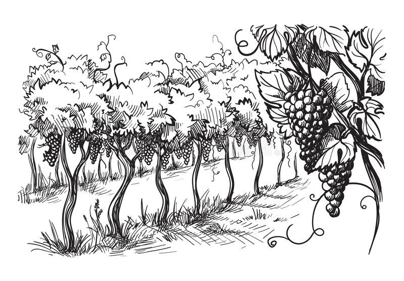 Rows of vineyard grape plants. In graphic style, hand-drawn vector illustration royalty free illustration