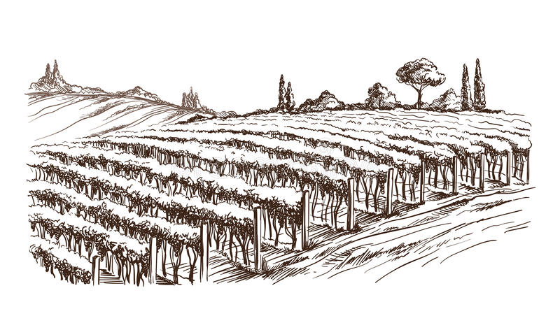 Rows of vineyard grape plants. In graphic style, hand-drawn vector illustration stock illustration