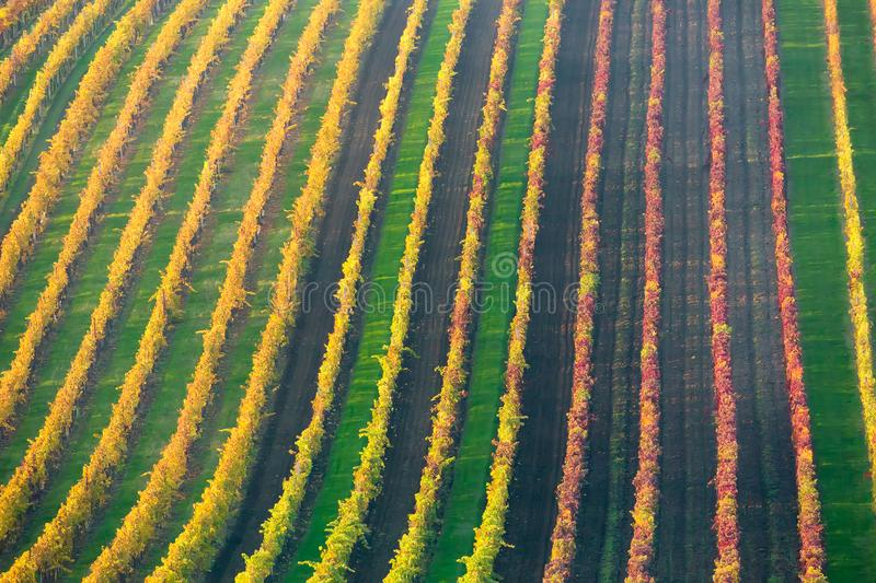 Rows of vineyard grape Vines. Autumn landscape with colorful vineyards. Grape vineyards of South Moravia in Czech Republic. Nice t. Exture or background royalty free stock photography