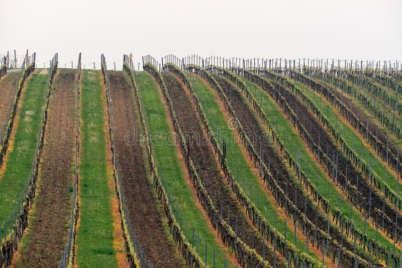 Grapes, vineyard Satov, South Moravia, Czech republic. Rows of Vineyard Grape Vines. Spring landscape with green vineyards. Grape vineyards of South Moravia in stock photos