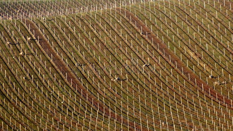 Grape Vineyards Of New Zealand stock photography