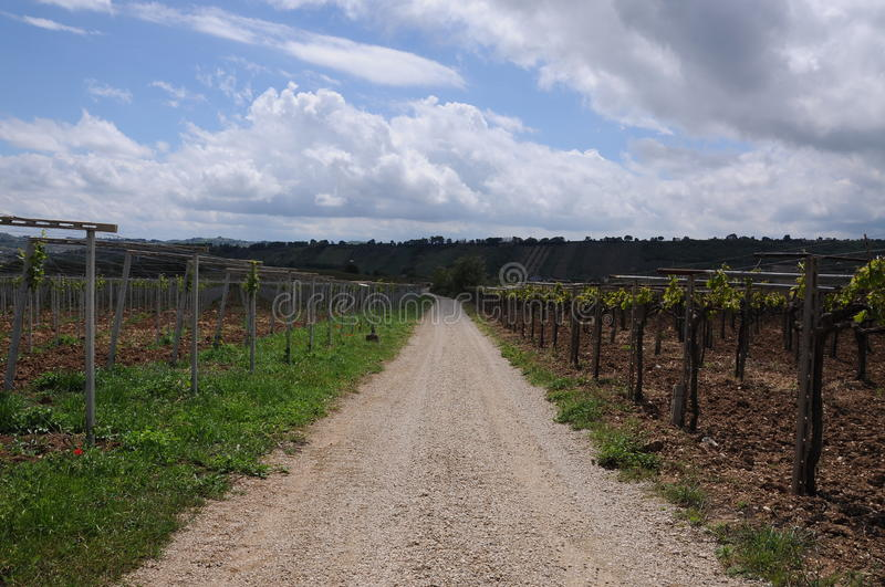 Rows of vineyards. In autumn royalty free stock images