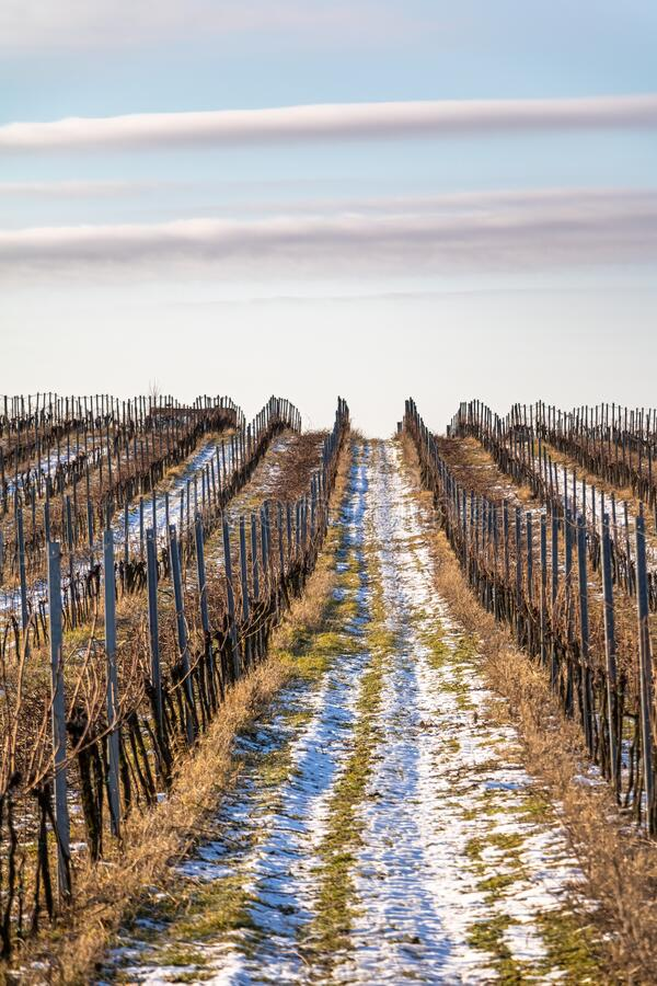 Rows of vineyards under blue sky with clouds stock photo