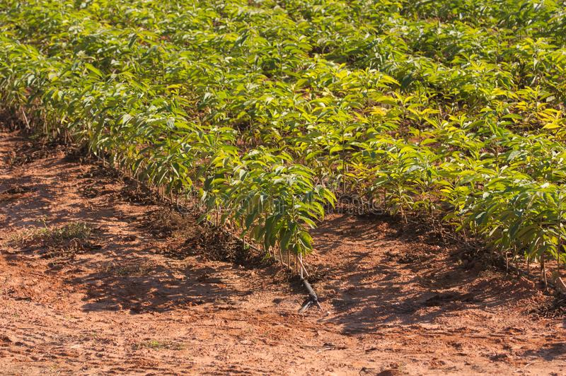 Rows where thousands of seedlings of persimmon trees grow stock photo