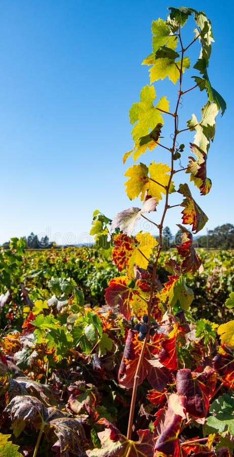 Rows of wine grapes in a field stock photo