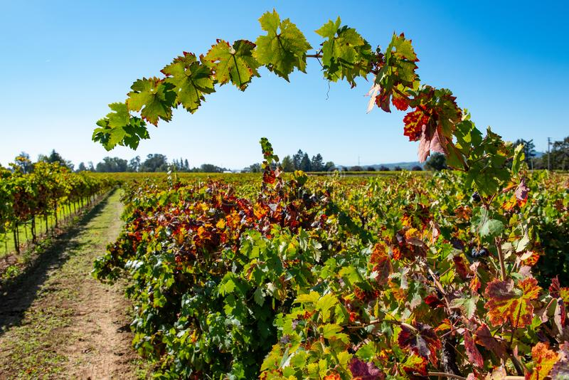 Rows of wine grapes in a field stock images