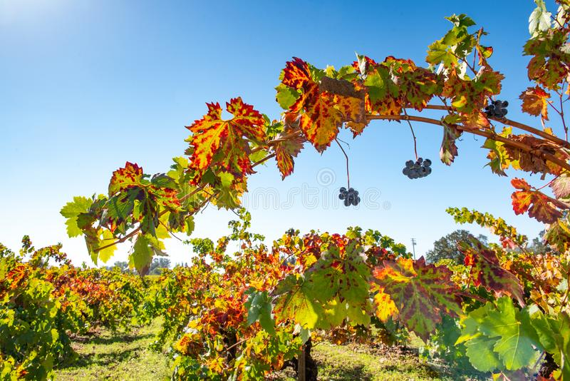 Rows of wine grapes in a field royalty free stock photo