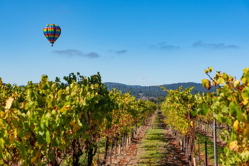 Rows of wine grapes with hot air balloon royalty free stock photography
