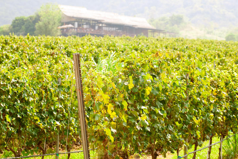 Download Rows of wines stock image. Image of field, farm, agriculture - 19138943
