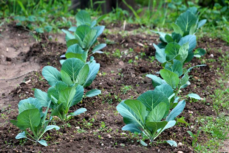 Rows of young Cabbage or Headed cabbage leafy green annual vegetable crop planted in local urban garden surrounded with wet soil stock photography
