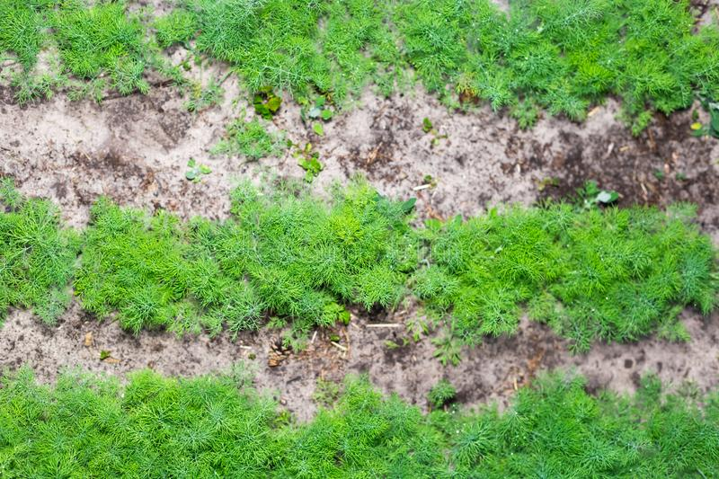 Rows of young dill in the garden.  stock photo