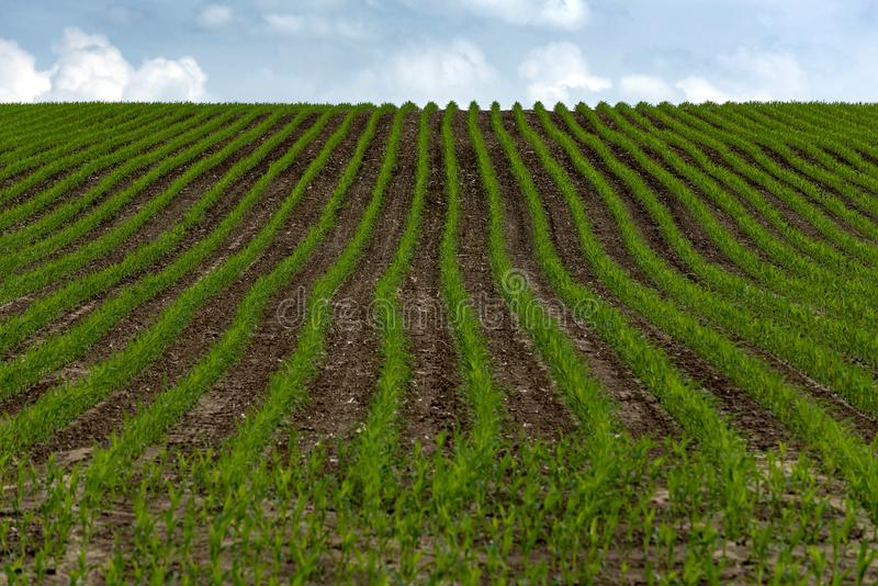 Rows of young green grain sown on field stock photo