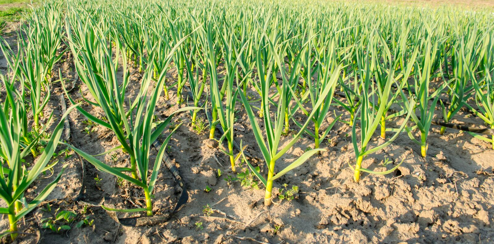 Rows of young leek grow in the field in a sunny day. Farm. Growing organic vegetables. Agriculture. Onion. Selective focus.  stock photos