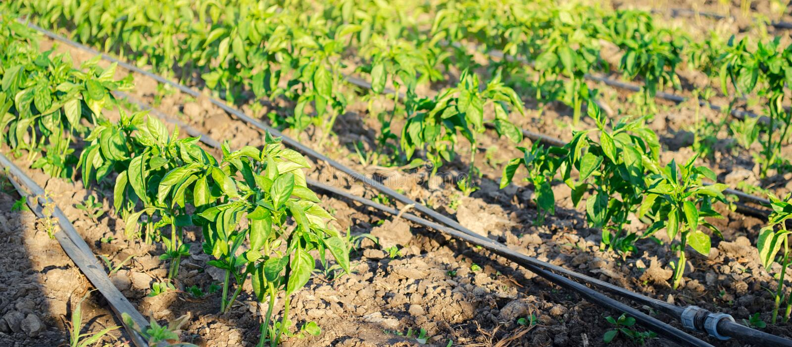 Rows of young pepper on a farm on a sunny day. Growing organic vegetables and drip irrigation. Eco-friendly products. Agriculture royalty free stock photography
