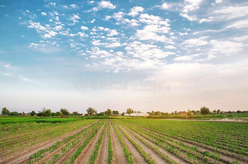 Rows of young pepper grow in the field. Growing organic bio vegetables on the farm. Agriculture and farming. Seedlings. Ukraine, stock image