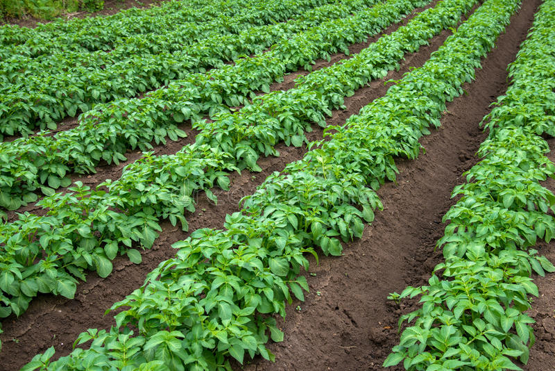 Rows of young potato plants on the field stock photography