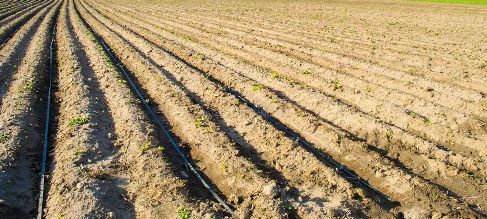 Rows of young potatoes grow in the field. Drip irrigation. Agriculture landscape. Rural plantations. Farm Farmland Farming. Selective focus stock photos