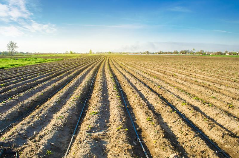 Rows of young potatoes grow in the field. Drip irrigation. Agriculture landscape. Rural plantations. Farm Farmland Farming. Selective focus stock image