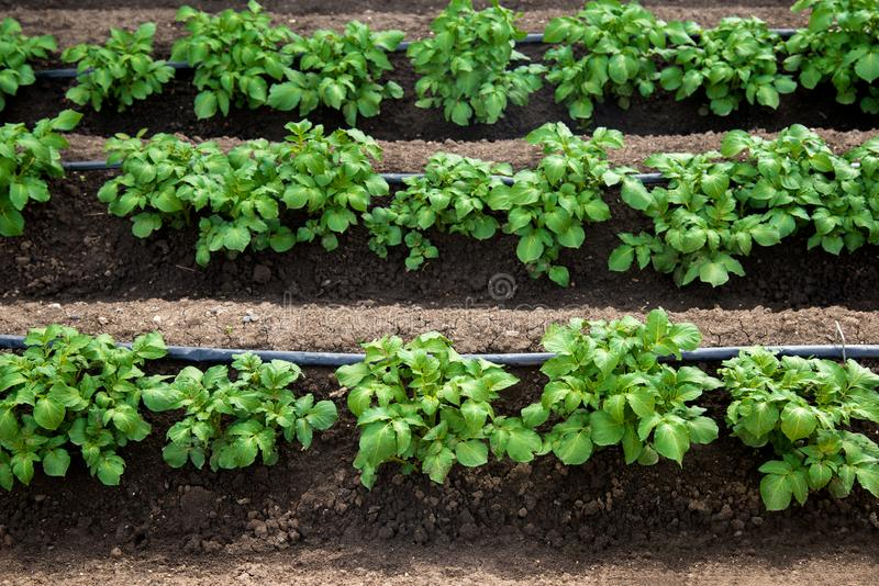 Rows of young potatoes plants and drip irrigation in the garden stock photo
