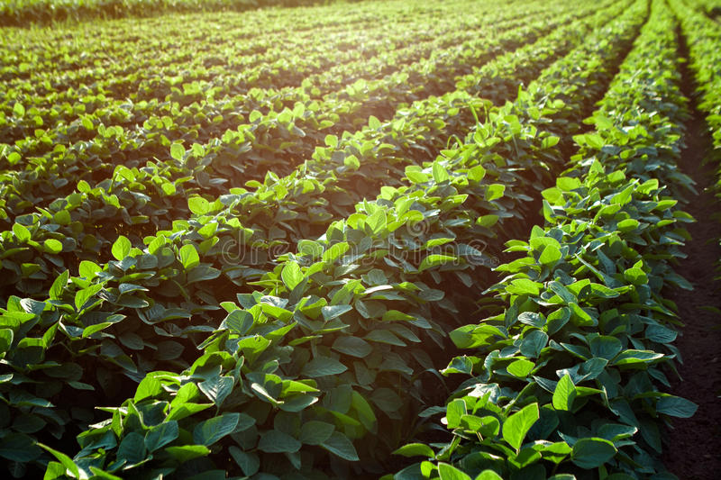 Rows of young soybean plants stock photos