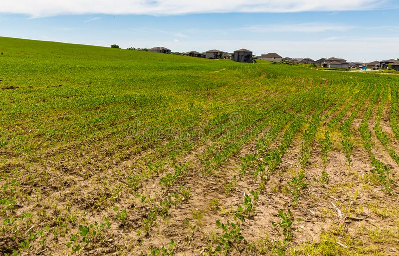 Rows of young sprouting soybeans on a farm stock photo