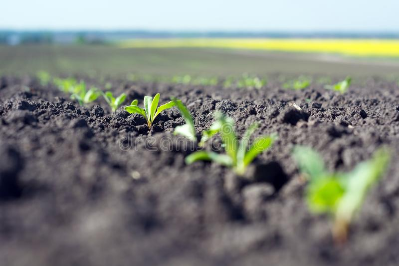 Rows of young sprouts of sugar beet in the phase of four leaves against the background of the field stock photography