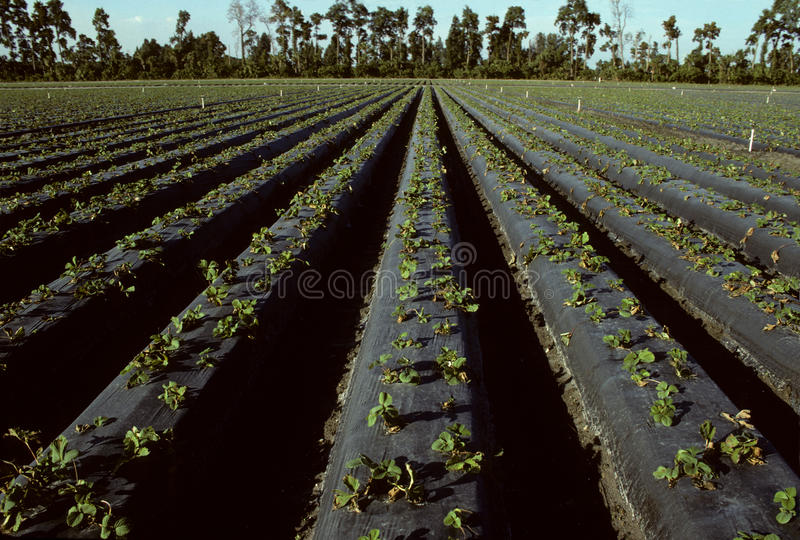 Rows of young strawberry plants in a field royalty free stock photos