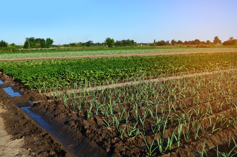 Rows of young vegetable seedlings. field with seedlings. leek, zucchini, and pepper. natural watering. countryside. irrigation royalty free stock photography