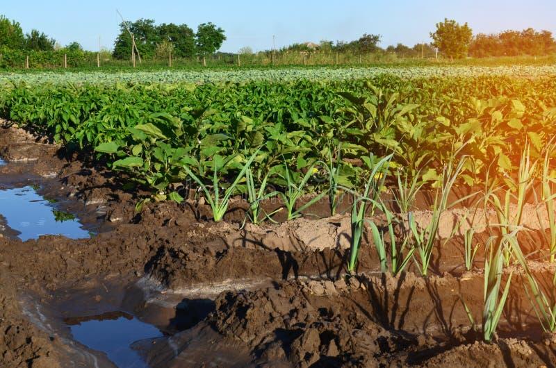 Rows of young vegetable seedlings. field with seedlings. leek, z royalty free stock images