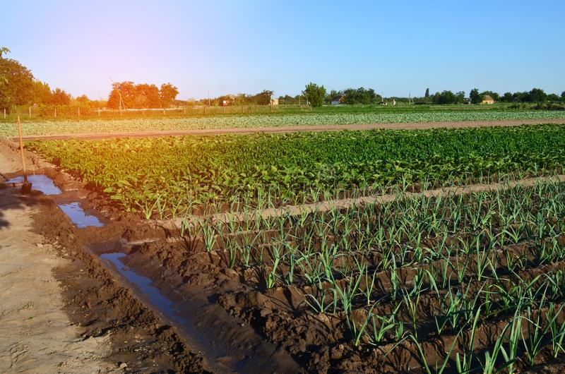 Rows of young vegetable seedlings. field with seedlings. leek, zucchini, and pepper. natural watering. countryside. irrigation stock image