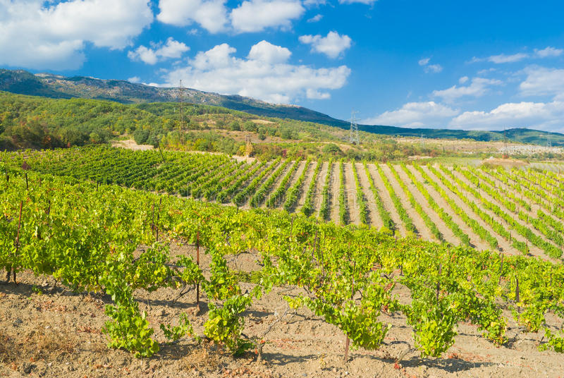 Download Rows Of Young Vineyards In Crimean Mountains Stock Photo - Image of alcoholic, crimean: 21481350