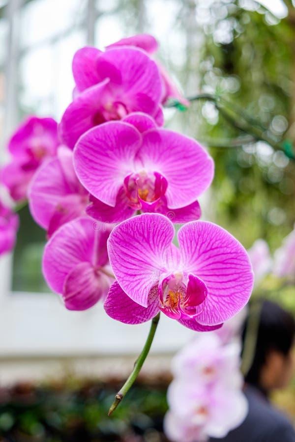 Roxo bonito do rosa da orquídea arranjado na árvore imagem de stock