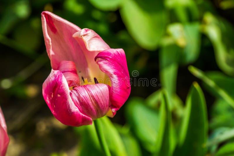 Roxo com a flor colorida branca branca da tulipa na flor, flor holandesa popular do jardim, fundo da natureza imagens de stock