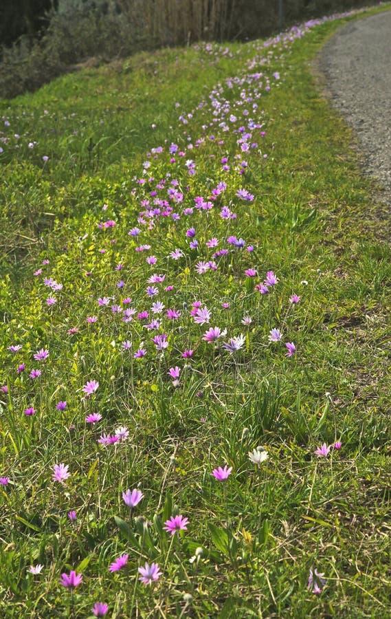 Roxo da estrada secundária dos Wildflowers fotos de stock royalty free
