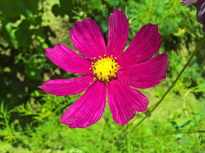 Roxo de Bipinnatus do cosmos do cosmos do jardim fotografia de stock royalty free