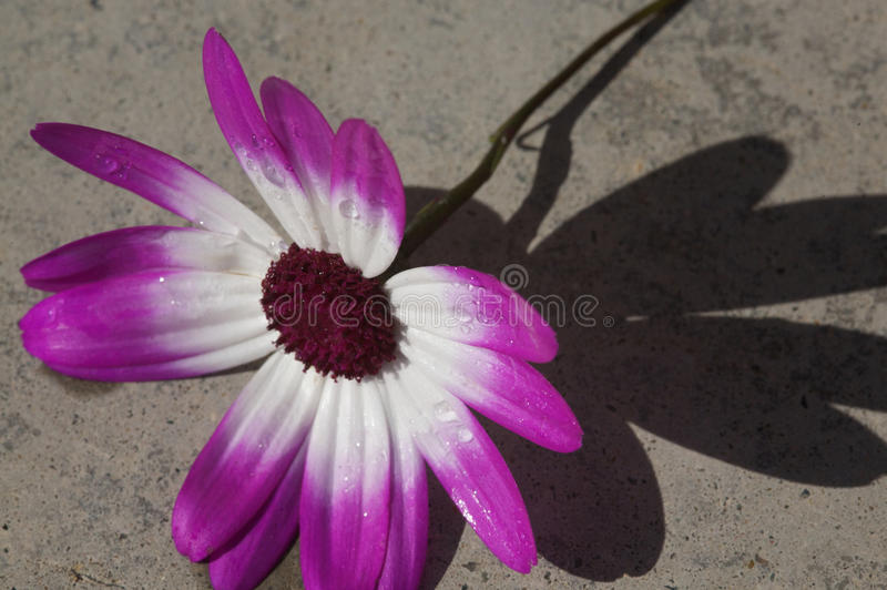 Roxo e branco margarida-como a flor fotos de stock