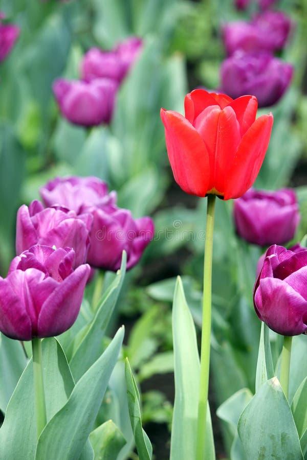 Roxo e uma flor vermelha da tulipa fotografia de stock