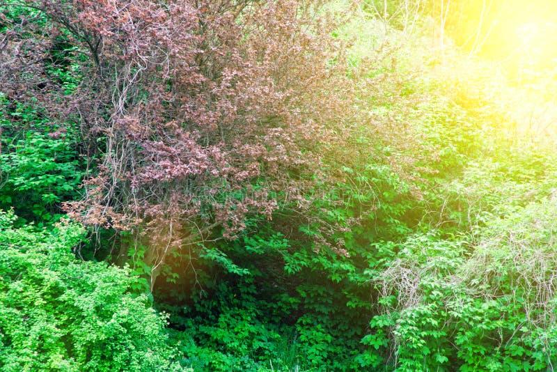 Roxo poucas flores no arbusto, fundo da planta do prado: grama ascendente e verde do fim do mios?tis DOF raso imagem de stock
