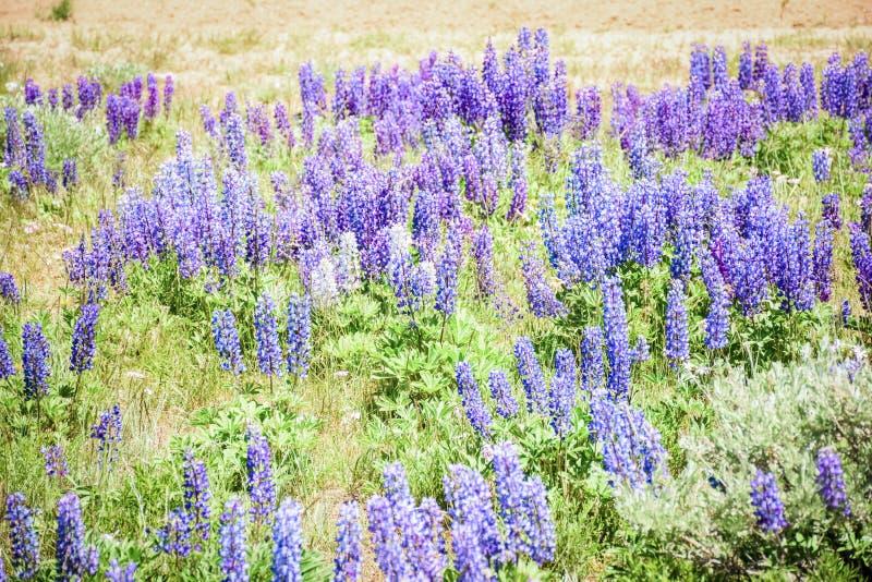 Roxo selvagem e Pale Blue Lupines In Colorado imagem de stock