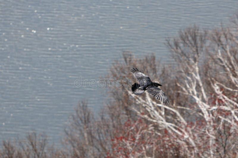 roya летания орла стоковая фотография rf
