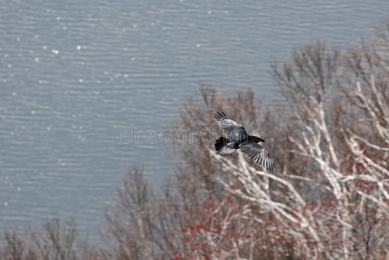 Download Roya Eagle Flying stock image. Image of bald, crow, feather - 14040547