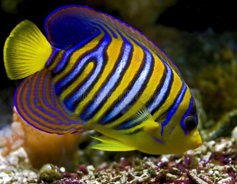 Royal angelfish 1 stock image