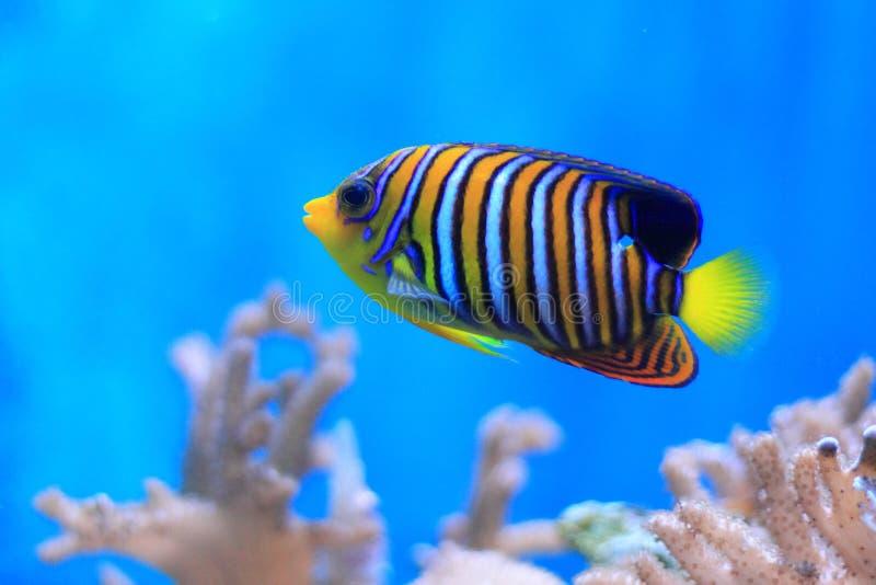 Royal angelfish stock image
