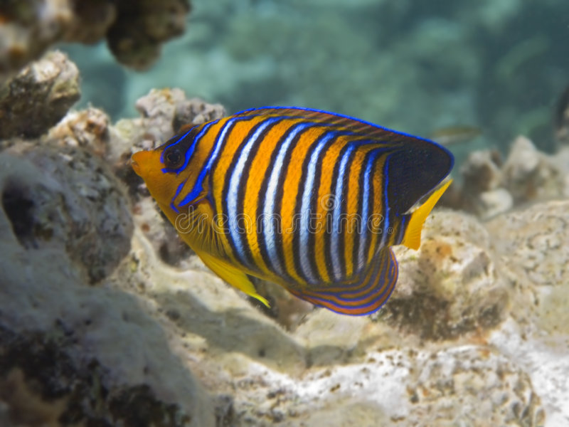 Download Royal angelfish stock photo. Image of snorkeling, coral - 6185438