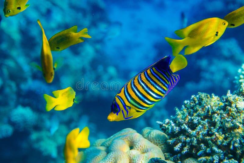 royal angelfish zdjęcia stock