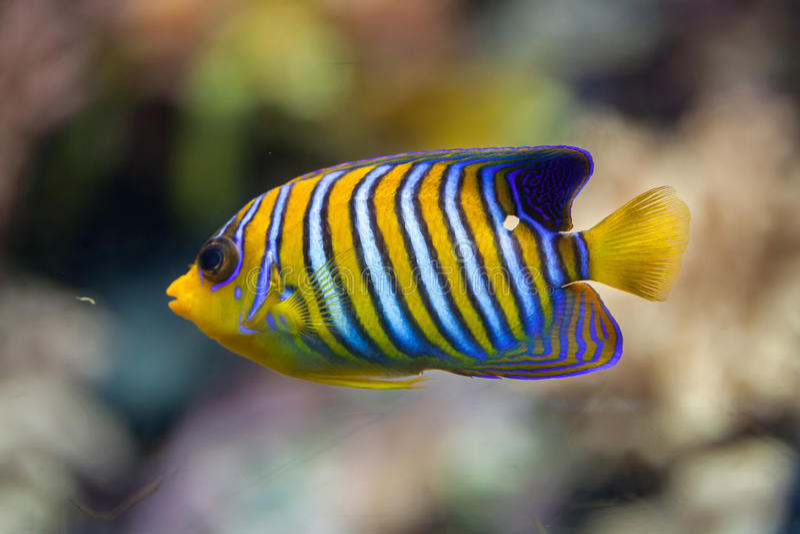 Royal angelfish Pygoplites diacanthus. stock image