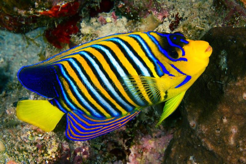 Royal angelfish royalty free stock photos