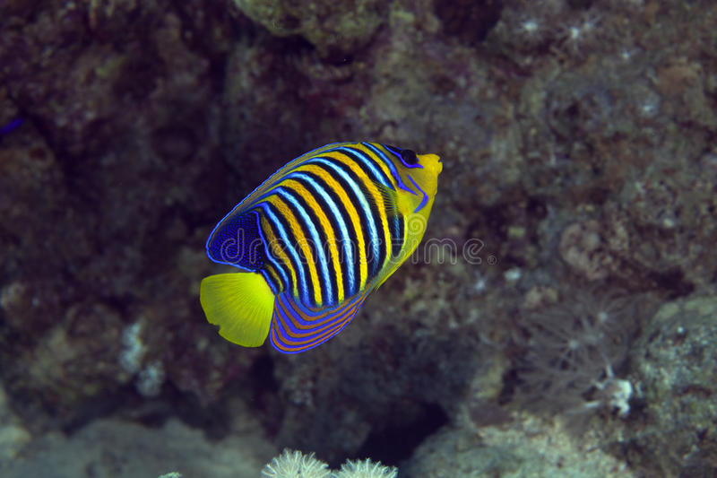 Royal angelfish in the Red sea. royalty free stock photo