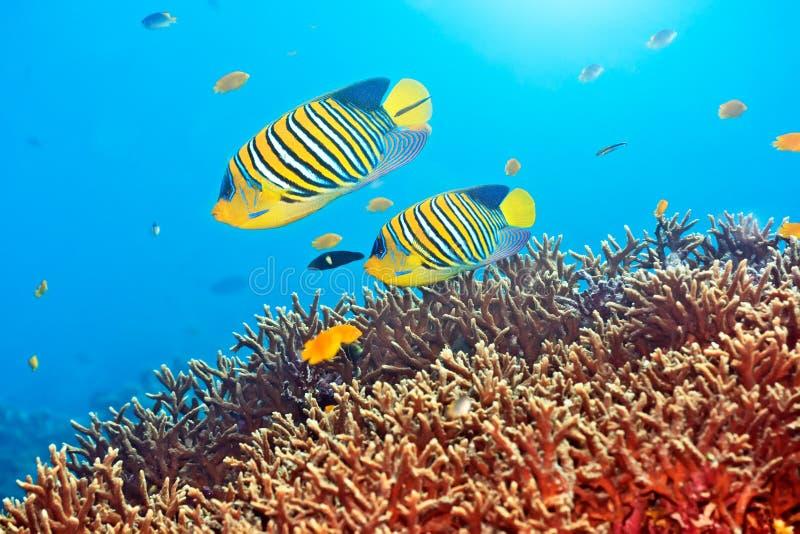 Royal angelfishes stock image